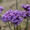 tall verbena flowers