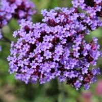 clusterhead verbena flowers