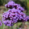 purpletop verbena