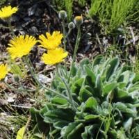 hieracium lanatum tomentosum