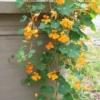 phoenix nasturtium trailing