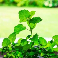 citronella lemon balm