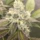 exotic genetics driz nipper cannabis