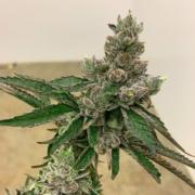 funky charms cannabis seeds