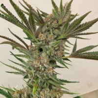 exotic genetixs jungle fruit marijuana seeds