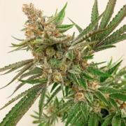 jungle fruit cannabis seeds