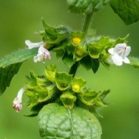 lemon balm citronella flower