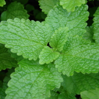 lemon balm citronella
