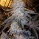 monkey mints cannabis strain exotic genetix