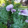 hungarian blue papaver breadseed poppy