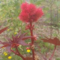 red castor bean carmencita ricinus