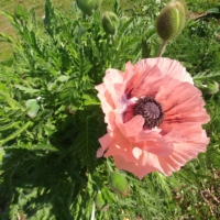 papaver orientialis