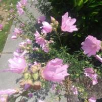 musk mallow pink