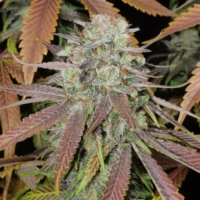 five star marijuana seed mass medical strains