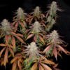 5 star cannabis seed pack mass medical strains