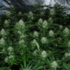eastcoasterlamb mass medical strains cannabis seeds