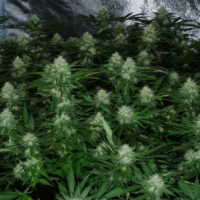 eastcoasterlamb mass medical strains cannabis seeds