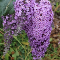 buddleia hybrid grand cascades