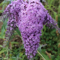 grand cascades buddleja panicles