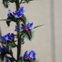 echium vulgare blue flowers