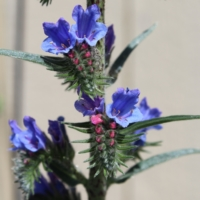 echium vulgare blueweed