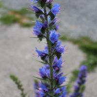 blue echium blueweed vipers bugloss