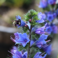 bumblebee on vipers bugloss