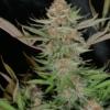 mr e pupil marijuana seed packet mass medical strains