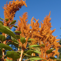 giant orange amaranth