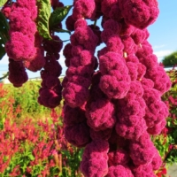 love lies bleeding dreadlocks amaranth