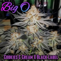 big o cannabis seed bred by fancyweed