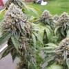 big o bx plant fancy weed
