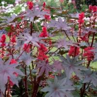 carmencita red castor bean plant ricinus communis