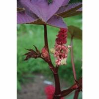 ricinus communis carmencita red castor oil plant