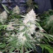 eastcoasterlamb seed pack mass medical strains marijuana