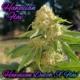 hawaiian flav marijuana seeds