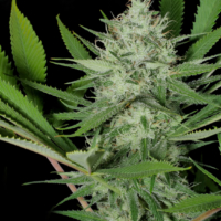 heavenly satica marijuana seeds mass medical strains