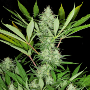 mass medical strains heavenly sativa seeds