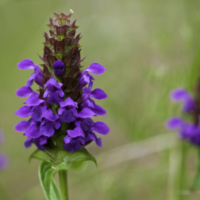 prunella vulgaris heal all