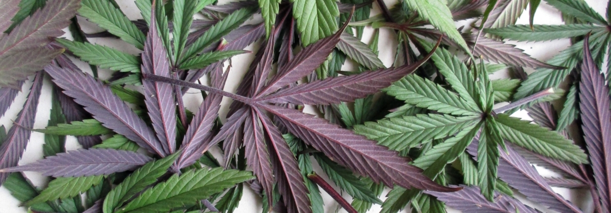 Garden plants that look like cannabis