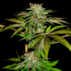 katsu pupil marijuana seeds mass medical strains