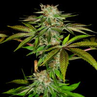 katsu pupil marijuana seeds mass medical strains