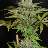 mass medical strains katsu pupil cannabis seeds