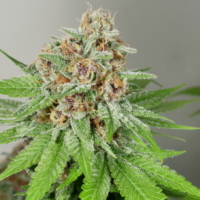 mass medical strains prayer pupil seeds