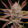 Putang mass medical strains marijuana seeds