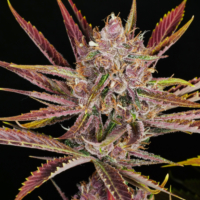 Putang mass medical strains marijuana seeds