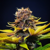 star pupil cannabis seeds mass medical strains