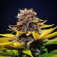 star pupil cannabis seeds mass medical strains