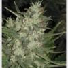 auto chemdog auto marijuana seeds