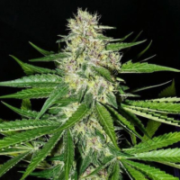 prayer pupil cannabis seeds mass medical strains